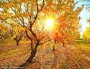 金黄草叶报秋来