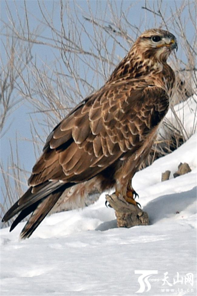 2019年2月2日,国家二级野生保护动物大鵟在雪地中站立.