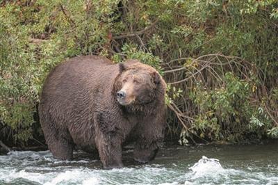 谁是最胖大灰熊?广州蚂蚁