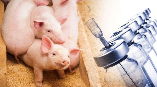 重大进展!非洲猪瘟疫苗真的要来?猪价连跌3周,板块蒸发600亿!超级周期要完?看央行、发改委最新定调