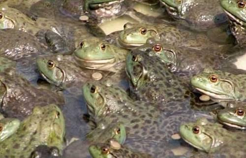 """蛙农邓伟田在授与澎湃音信采访时说:""""吾从2014年最先从事泰国虎纹蛙养殖,现在发展到10亩田17条蛙塘,年产量在45万斤以上。吾们这边70%的蛙农是贷款养殖的,现在不克卖,贷款也还不上了。"""""""