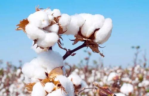 棉市资源匮乏 棉副市场购销有限