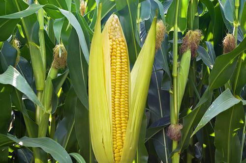 玉米连续四日上涨,国储拍卖明日开拍