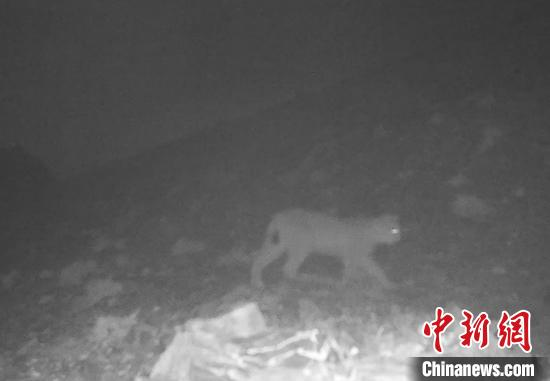 新疆阿尔金山国家级自然保护区监测员拍摄到雪豹活动影像