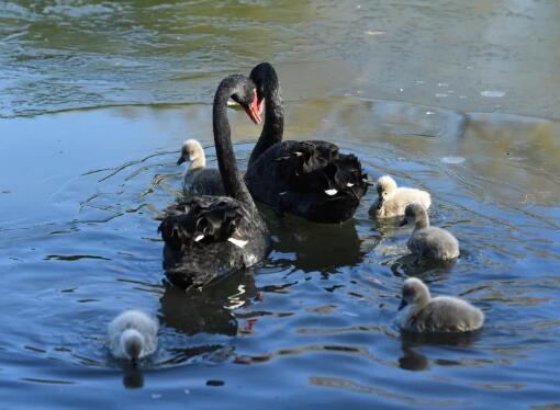 圆明园3只黑天鹅感染禽流感死亡 北京海淀凌晨通报!圆明园黑天鹅感染禽流感具体情况