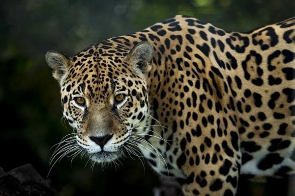专家判断第3只豹子或已死亡:野外生存技能几乎为零